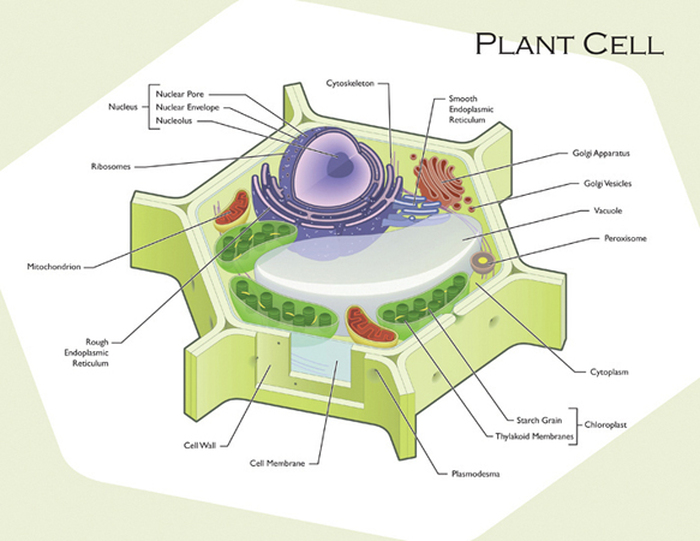 Fine Plant And Animal Cell Diagram Plant And Animal Cells Ranpur Mohammedshrine Wiring Digital Resources Ranpurmohammedshrineorg